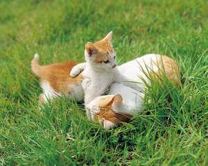 Кошки играют на траве