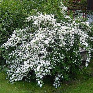 Chubushka bush