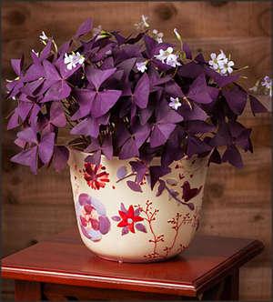 Оксалис фиолетовый уход в домашних условиях