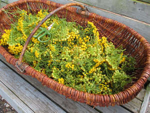 Tansy in the basket