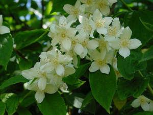 Chubushnik plant