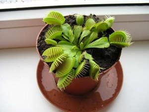 Venus flytrap on the windowsill