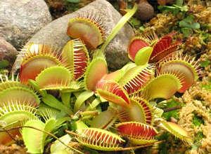 Venus flytrap in the garden