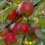 Обрезка молодой яблони осенью