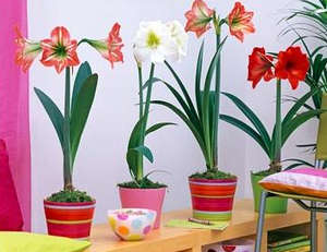 Potted hippeastrum