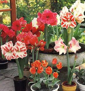 Hippeastrum in mini-greenhouse