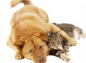 Рак молочной железы у кошки фото