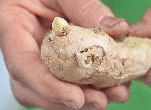 Ginger root in hands