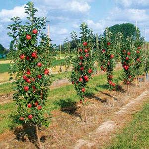 Посадка колоновидных яблонь и уход за сортом (фото)