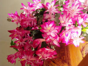 Flowering Decembrist