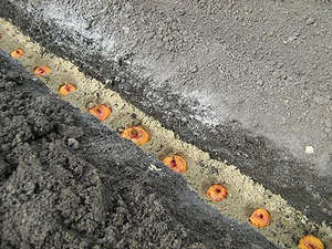 Bulbs in the soil