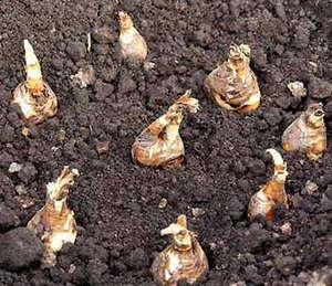 Planted bulbs