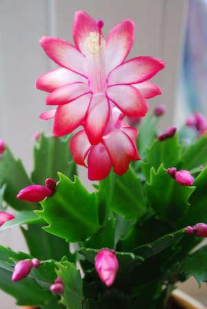 Цветки с декабриста фото