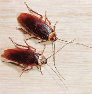 Как травить тараканов борной кислотой