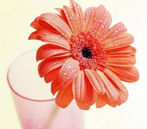 Red gerbera in a vase