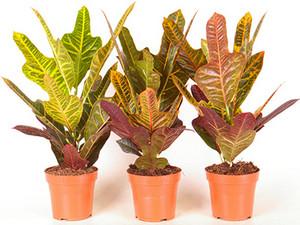 Three Crotons