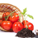 Рекомендации, как выращивать помидоры дома