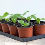 Когда и как посеять капусту на рассаду