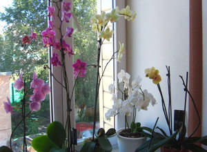 Orchids on the balcony