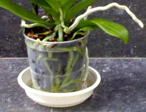 Orchid in a bowl for watering