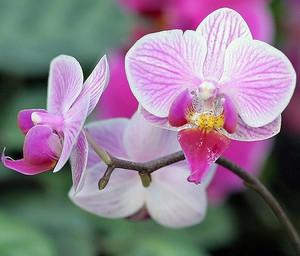 Почему не цветут орхидеи в домашних условиях