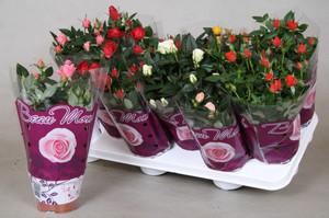 Роза уход в домашних условиях