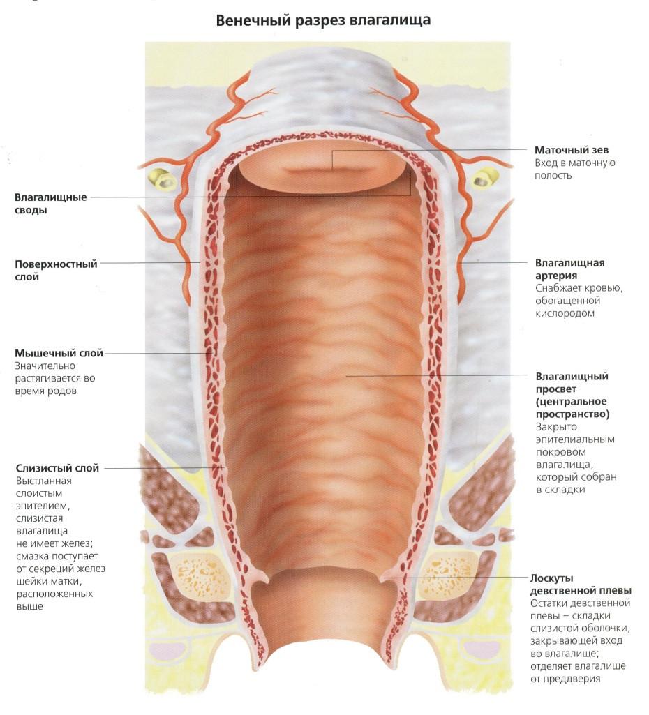 строение молодой женской вагины фото