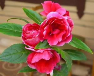 Balsam flower