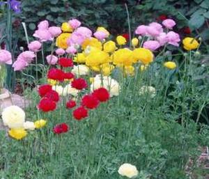 Ранункулюсы в саду