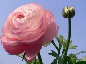 Розовый ранункулюс