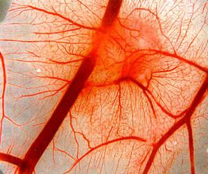 Blood vessel walls