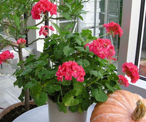 Geranium potted on the window