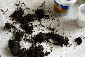 Ready for transplanting seedlings