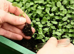 Picking seedlings