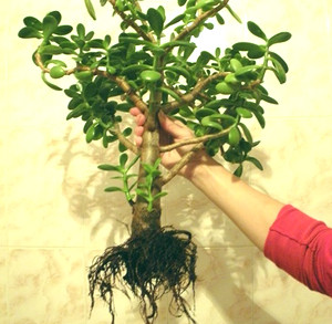 Money tree in hands for transplanting