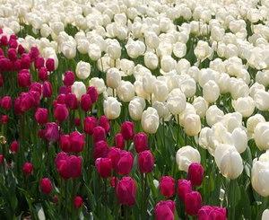 Белые и розовые тюльпаны