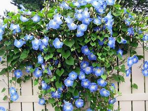 Голубая вьющаяся ипомея