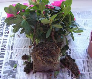 Bush for transplanting on the newspaper