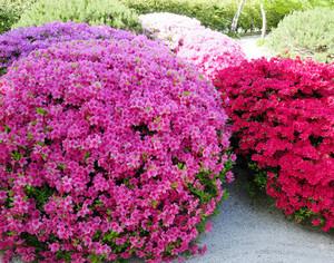 Азалия садовая цветок фото