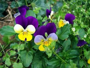 Желтые и фиолетовые виолы