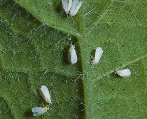 Whitefly on a piece of paper