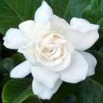 Gardenia jasminoides як доглядати в домашніх умовах