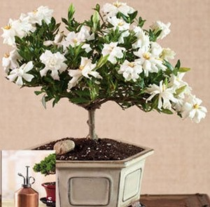 A small tree with white flowers in a pot