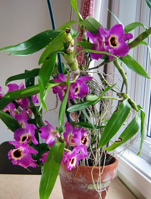 Dendrobium Nobile on the windowsill