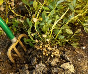 Peanut bush in the ground