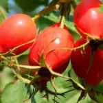 Способы приготовления отвара из плодов шиповника