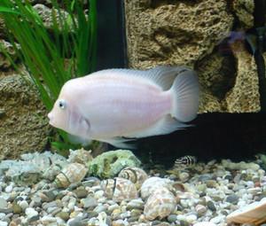 Cyclosea albino