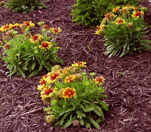 Flowers in beds of mulch