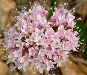 Flowers of Valeriana officinalis