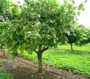 Tree with carambola fruits